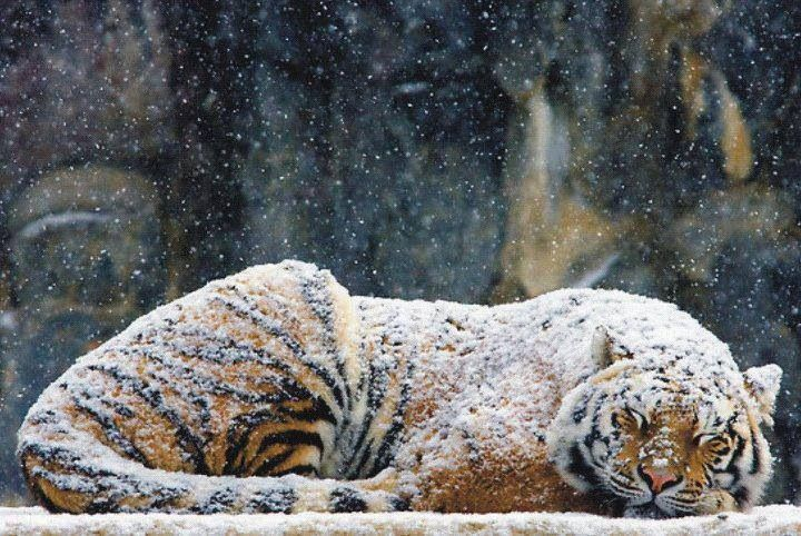 Tiger sleeping in snow