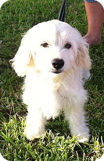 West Palm Beach Fl Cockapoo Cavalier King Charles Spaniel Mix Meet Ping A Dog For Adoption American Eskimo Dog Mix Unique Dog Breeds Pets