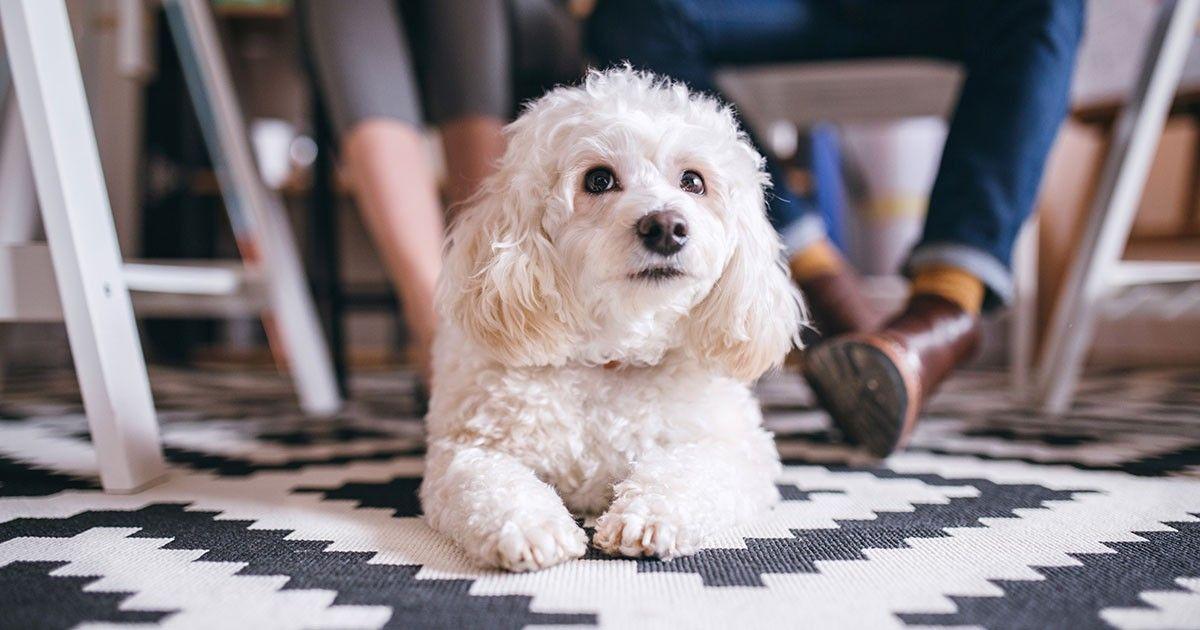 床で滑る老犬 床ずれも心配 過ごしやすい環境は 滑らない 清潔 物より場所 Sippo シッポ 犬の品種 獣医学 シーズー