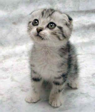 Scottish Fold Kittens For Sale Petsanimals In Colorado Springs
