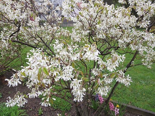 Magnolie Kleinwüchsig felsenbirne kleinwüchsig seite 1 pflanzenfragen mein schöner