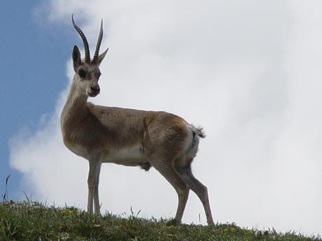 Mongolian Gazelle Zeren Procapra Gutturosa