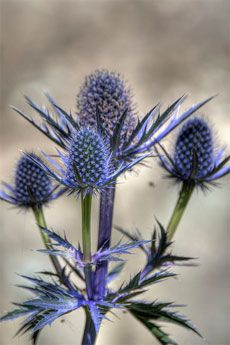 Sea Holly Plant Care: How To Grow A Sea Holly Plant  I had these at my last house.Miss them