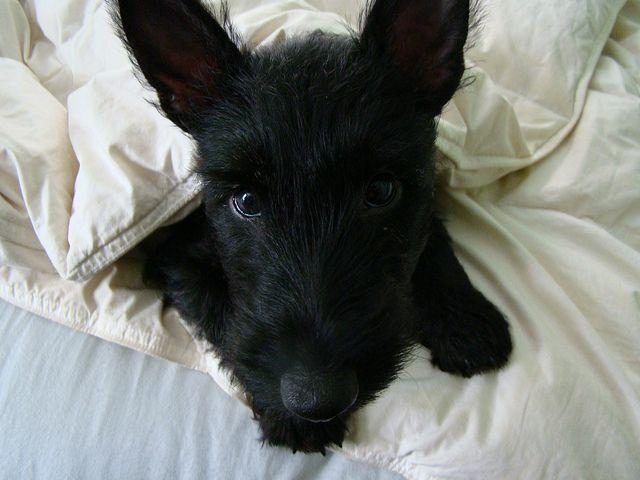 Snuggledog Scottish terrier, Terrier and Dog