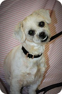 Whitehall Pa Shih Tzu Mix Meet Bella A Dog For Adoption Http