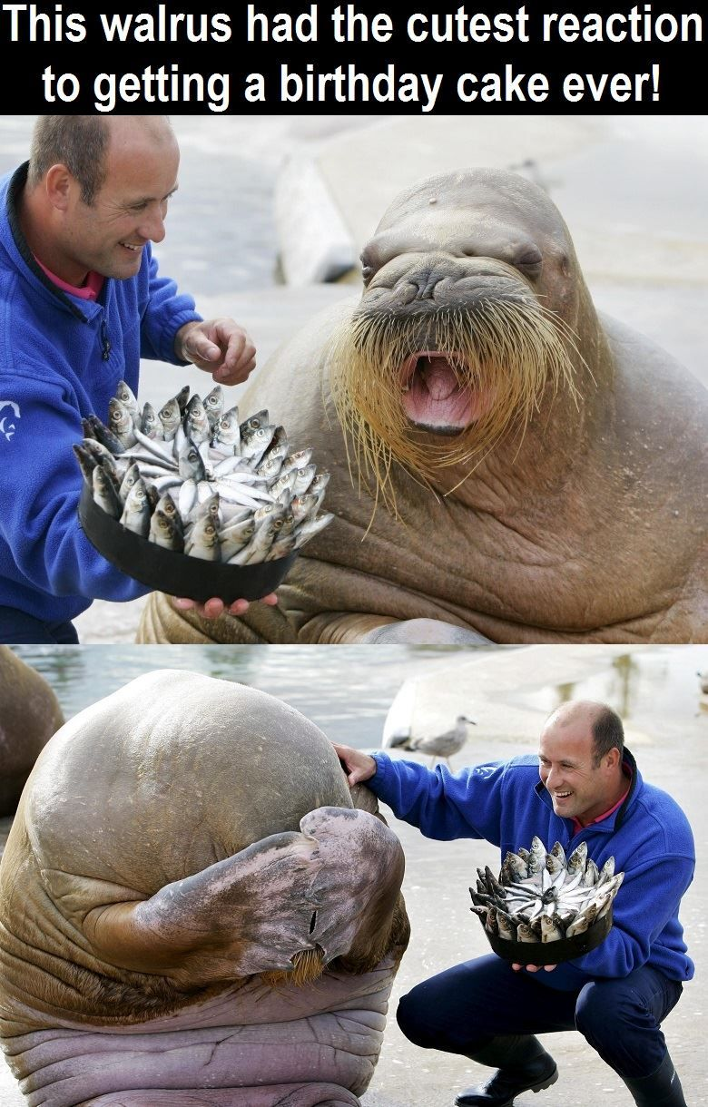 what an adorable reaction happy birthday nikolai the walrus