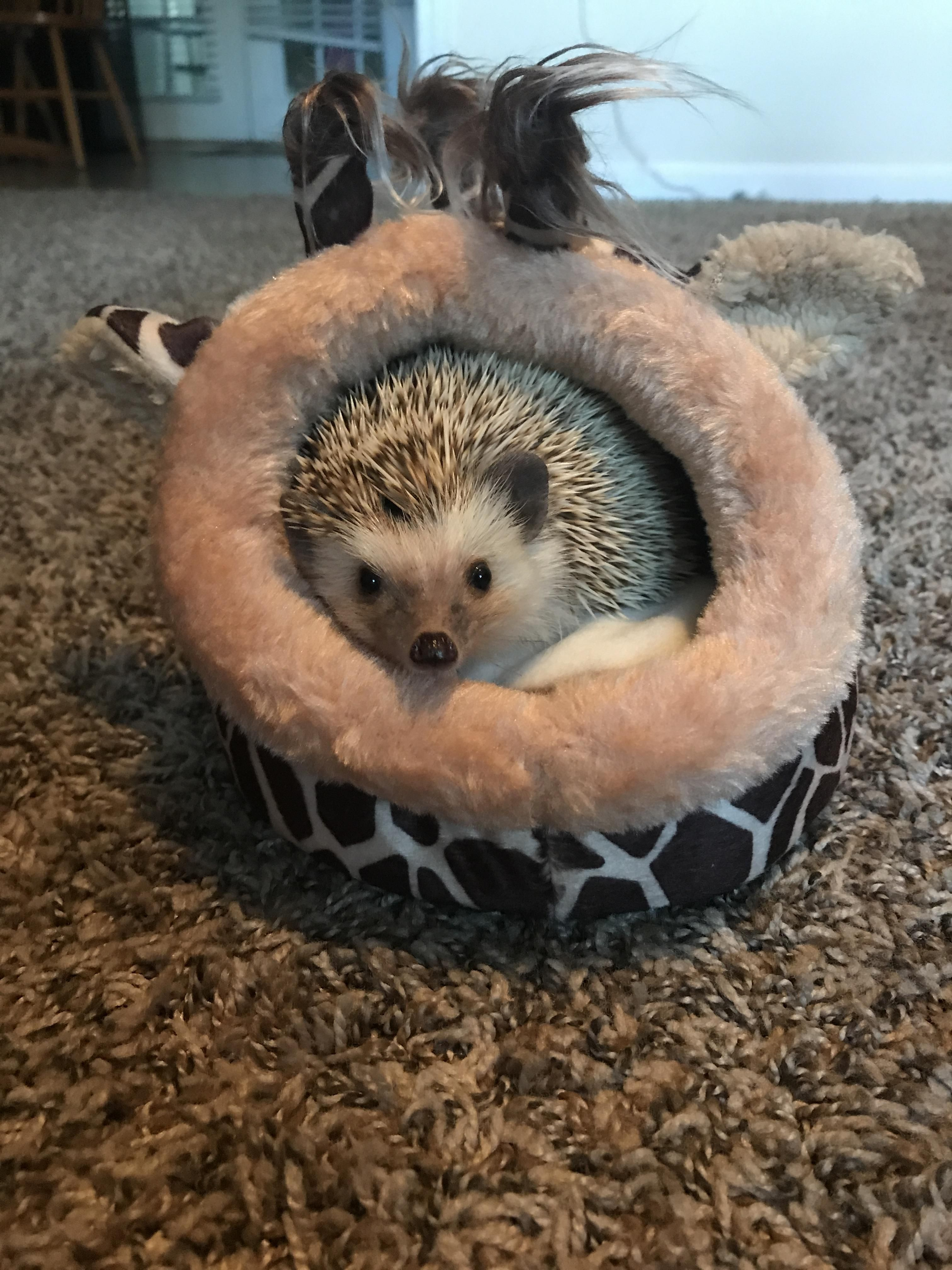 Bought My Hedgehog A Giraffe Bed With Images Giraffe Bedding