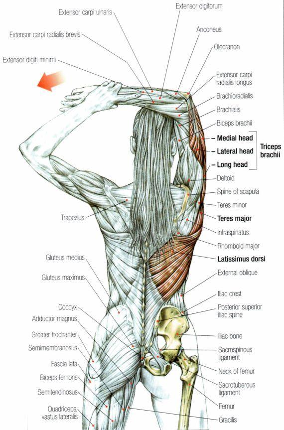 Alongamento tríceps | Anatomía, Fisioterapia y Estiramiento