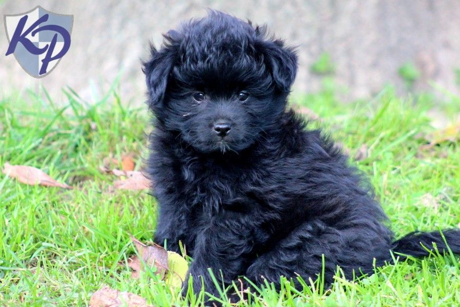 Pomapoo Puppies For Sale Poodle Mix Puppies Puppies Puppies