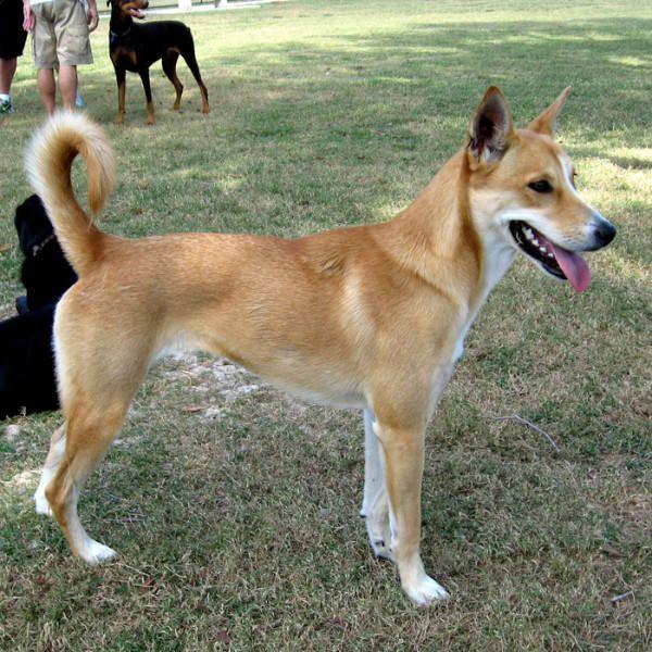 20 of the World's Rarest Dog Breeds Rare dog breeds, Dog