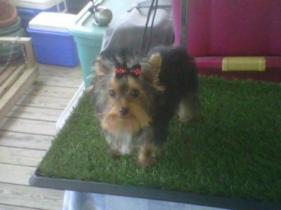 Sophia I Got A Yorkie From A Breeder When She Was 9mths Old And Not