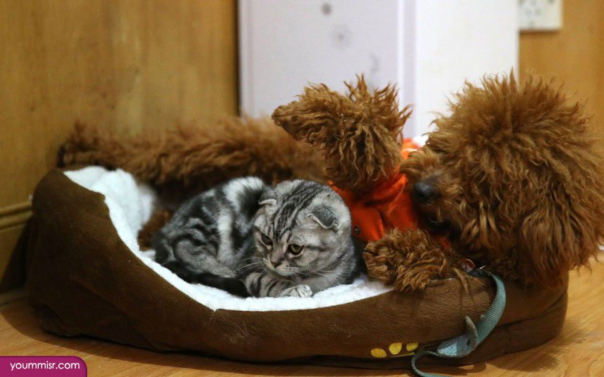 خلفيات قطط للبيع قطة كيوت في الامارات الكويت 2015 صور وخلفيات قطط قطة سيامي جميلة ترقص يوتيوب بيضاء شيرازية كيوت للبيع Best Dog Breeds Furry Friend Cat Sitter