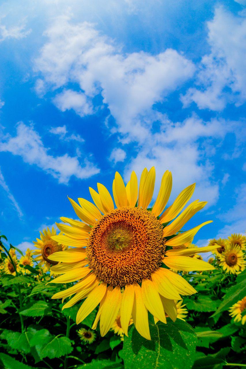 Sunflower ひまわり ひまわり 壁紙 ひまわり ひまわり畑