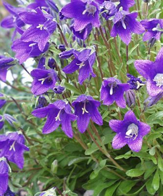 Bellflower Campanula Totally Free June Wedding Flowers Perennials Purple Flowers