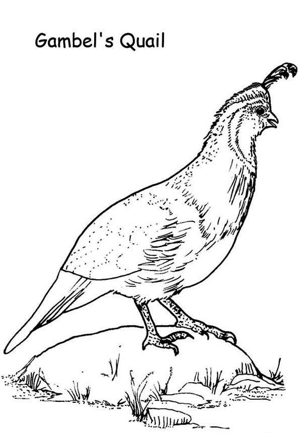 Gambel Quail Coloring Page Color Luna Coloring Pages Coloring Pictures Quail