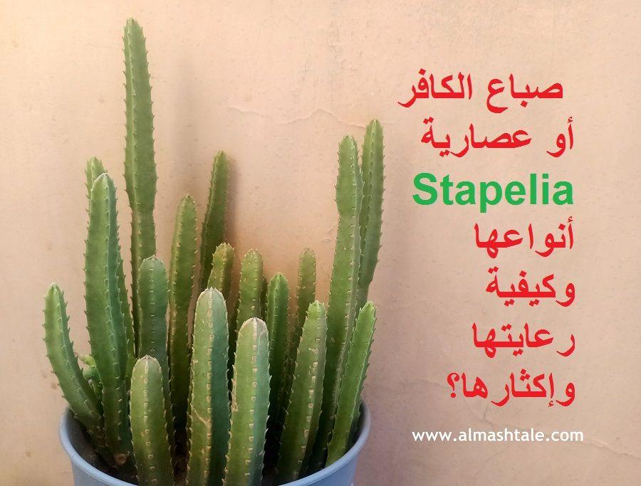 صباع الكافر أو الستابيليا من النباتات العصارية الجميلة والبسيطة موطنها الأصلي وسط أفريقيا ومثل كافة العصاريات تتنوع أشكالها مع المح Cactus Plants Plants Cactus