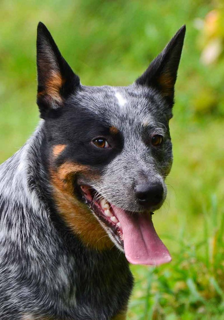 Pictures Of Blue Heelers Beautiful Images Of Australian Cattle Dogs Blue Heeler Dogs Austrailian Cattle Dog Australian Cattle Dog