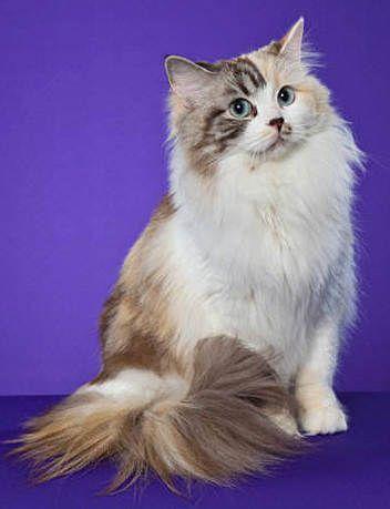 Ragamuffin Pretty Cats Ragamuffin Cat Cute Cats And Kittens