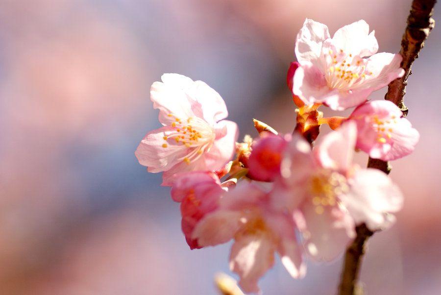 cherry Blossoms 2 by juju--juju.deviantart.com