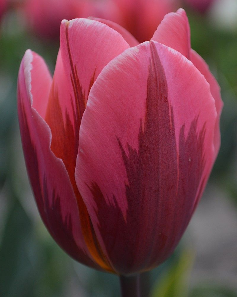 cute tulips pink flowers - photo #12