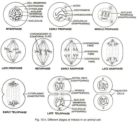 Daughter cells, Science biology, Cell membrane