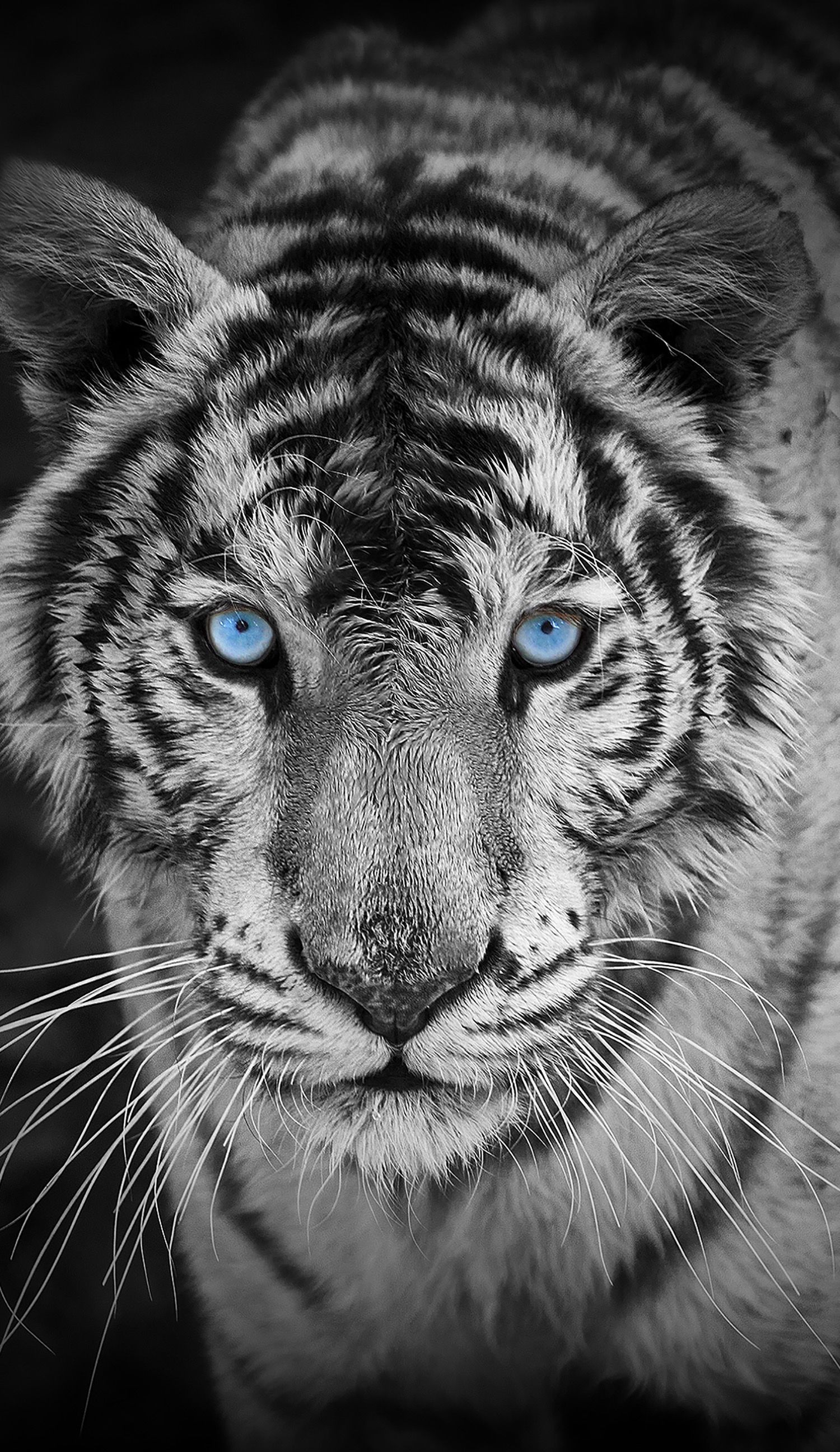 Awesome Looking Tiger Those Blue Eyes Are Simply Beautiful Pet
