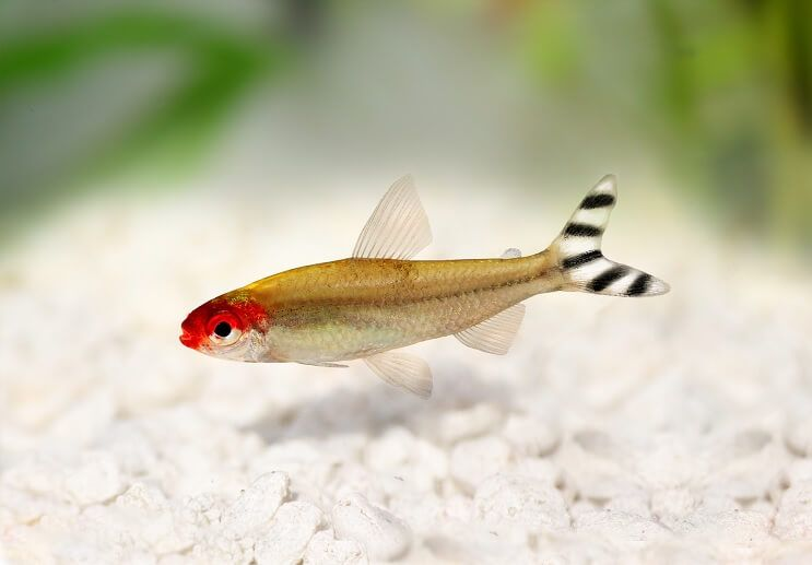 Rummy Nose Tetra Canary Of Your Fish Tank Very Red Face Healthy Tank Tetra Fish Betta Aquarium Fish Tank