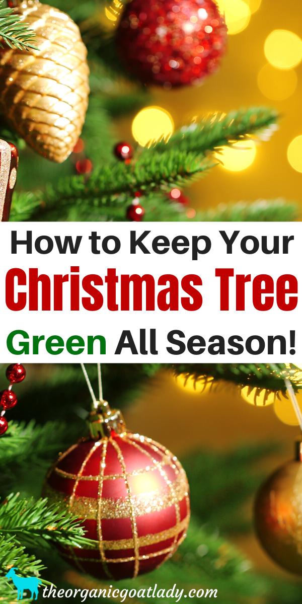 How To Keep A Christmas Tree Alive The Organic Goat Lady Christmas Tree Care Green Christmas Tree Live Christmas Trees