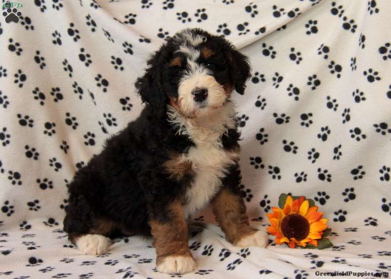 Addy Sue Bernedoodle Puppy For Sale In Pennsylvania