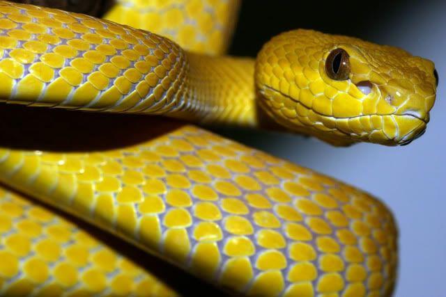 yellow mamba snake - photo #1