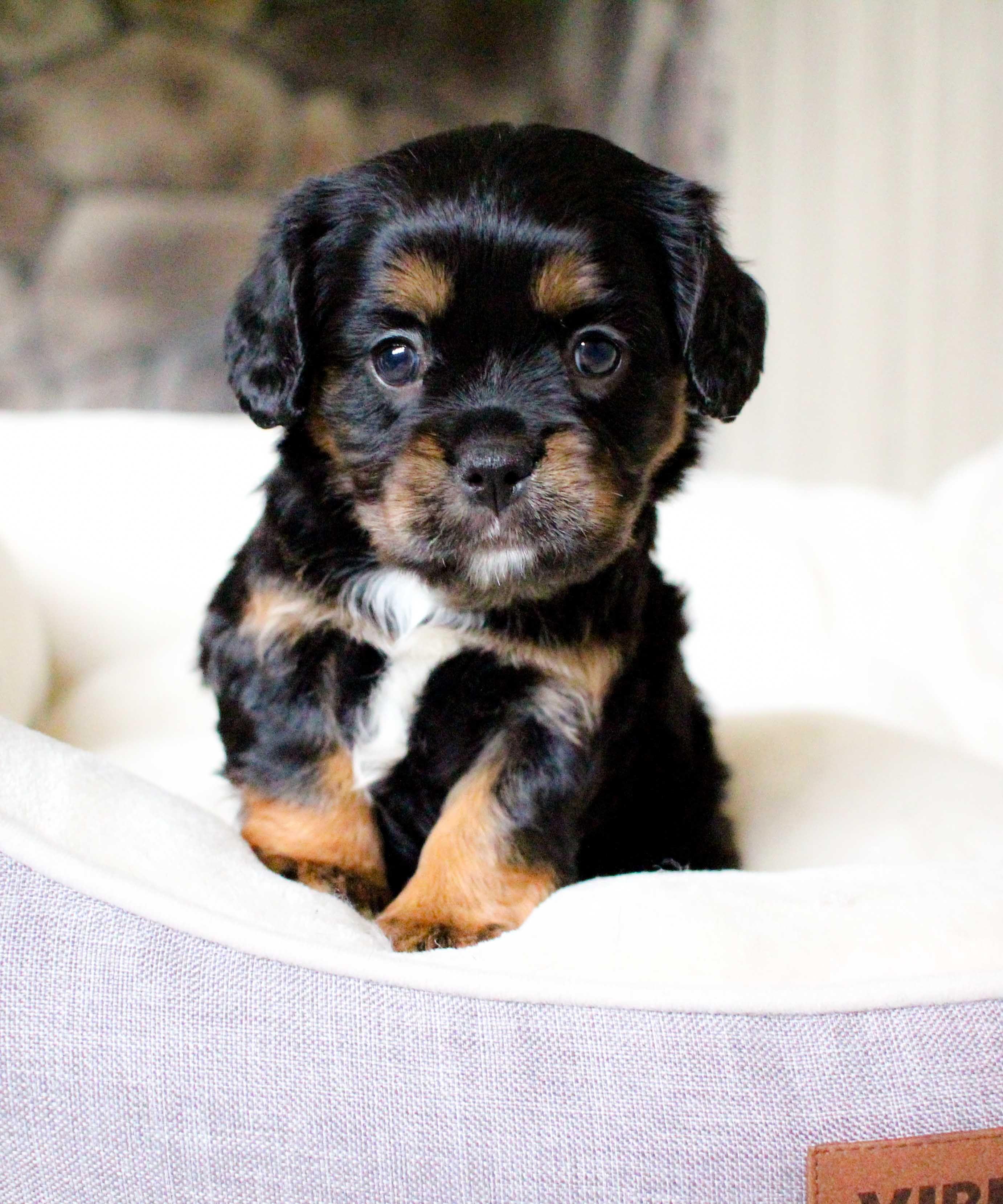 Lancaster Puppies Canton Ohio