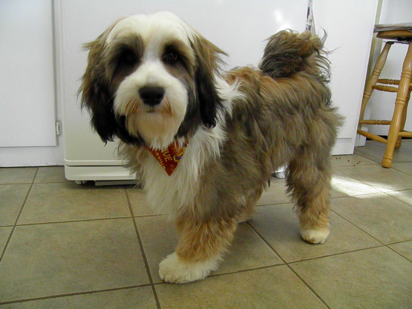 Brown White Black Tibetan Terrier Tibetan Terrier Animal Magic Cute Dogs