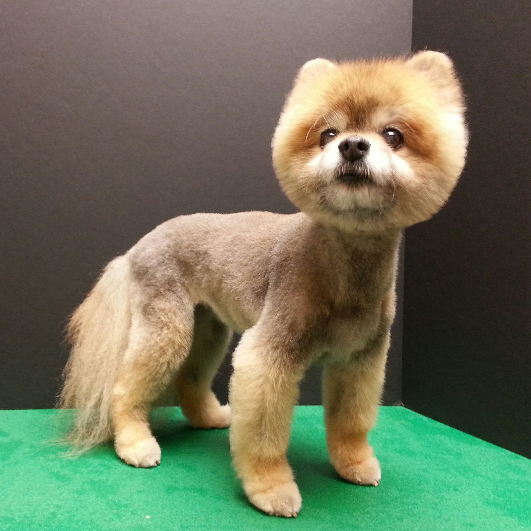 Pomeranian Haircut Pom Grooming Boo Haircut