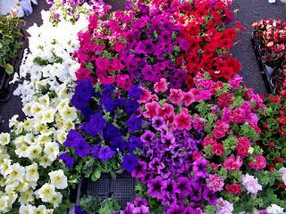Romantic Flowers Petunia Flowers Vertical Garden Flowers Petunias Plants