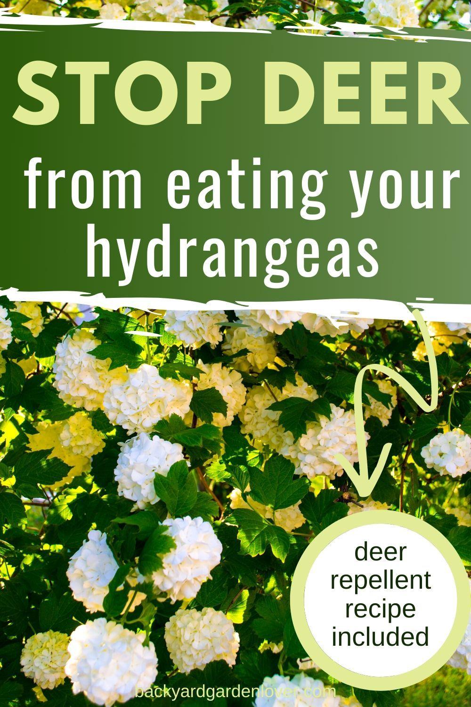 How To Stop Deer From Eating Hydrangeas Other Plants Too In 2020 Hydrangea Deer Repellant Planting Hydrangeas