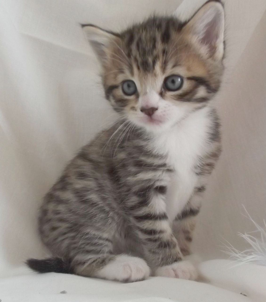 Gray Brown And White Kittens With Blue Eyes Google Search Grey Tabby Kittens Tabby Kittens For Sale Grey Kitten