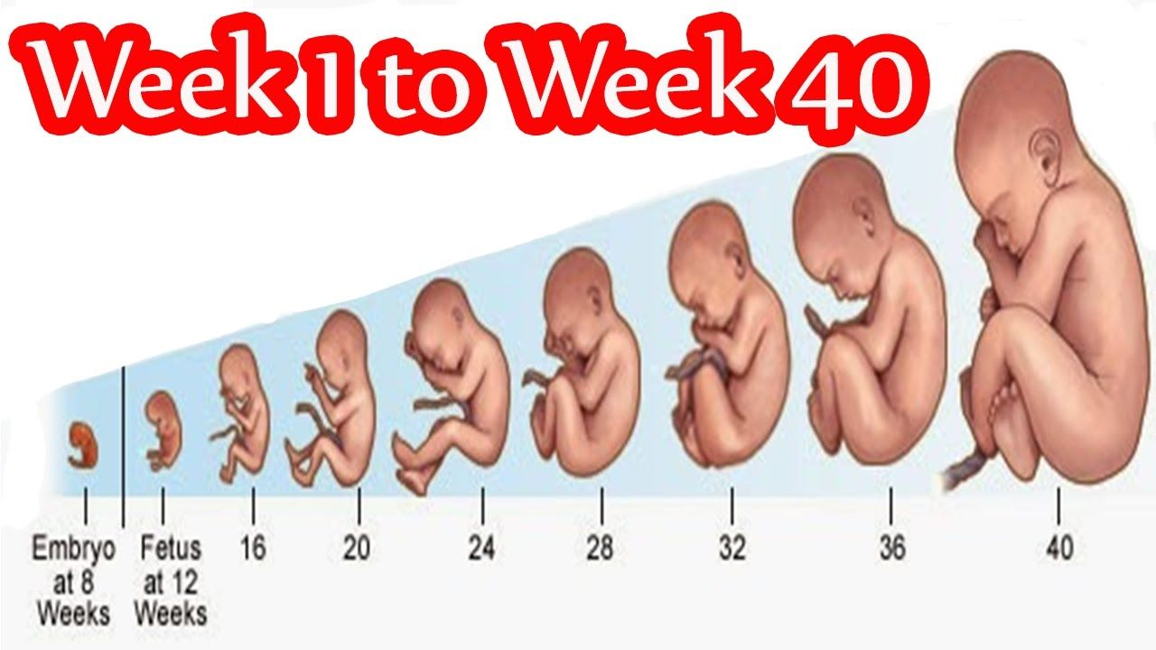 12+ Baby size by week animals ideas