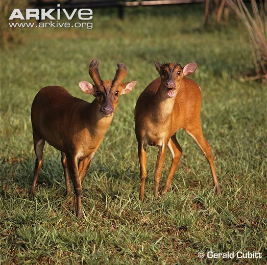 Male and female southern red muntjac