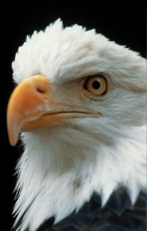 Eagle Watching: Join one of the many eagle-watching tours and events offered in Alton, or visit the Melvin Price Locks & Dam to get a bird's-eye view of the eagles soaring over the Mississippi River.