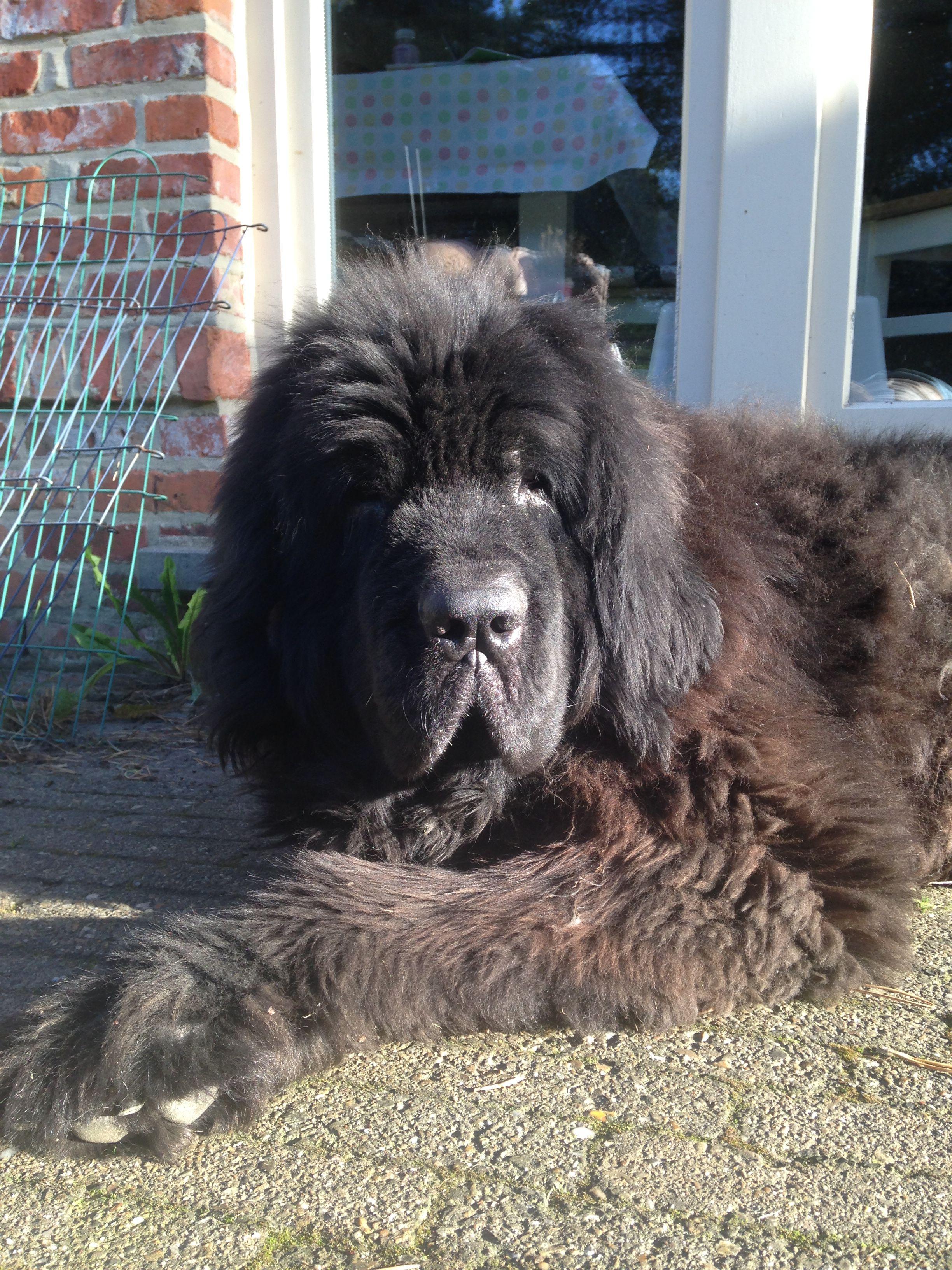Mona newfoundland dog best dog in the world i miss you my friend