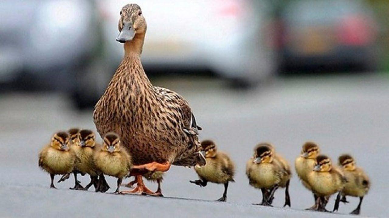Cute Baby Ducks Following Mom Funny Everyday Compilation Baby Ducks Cute Babies Mom Humor