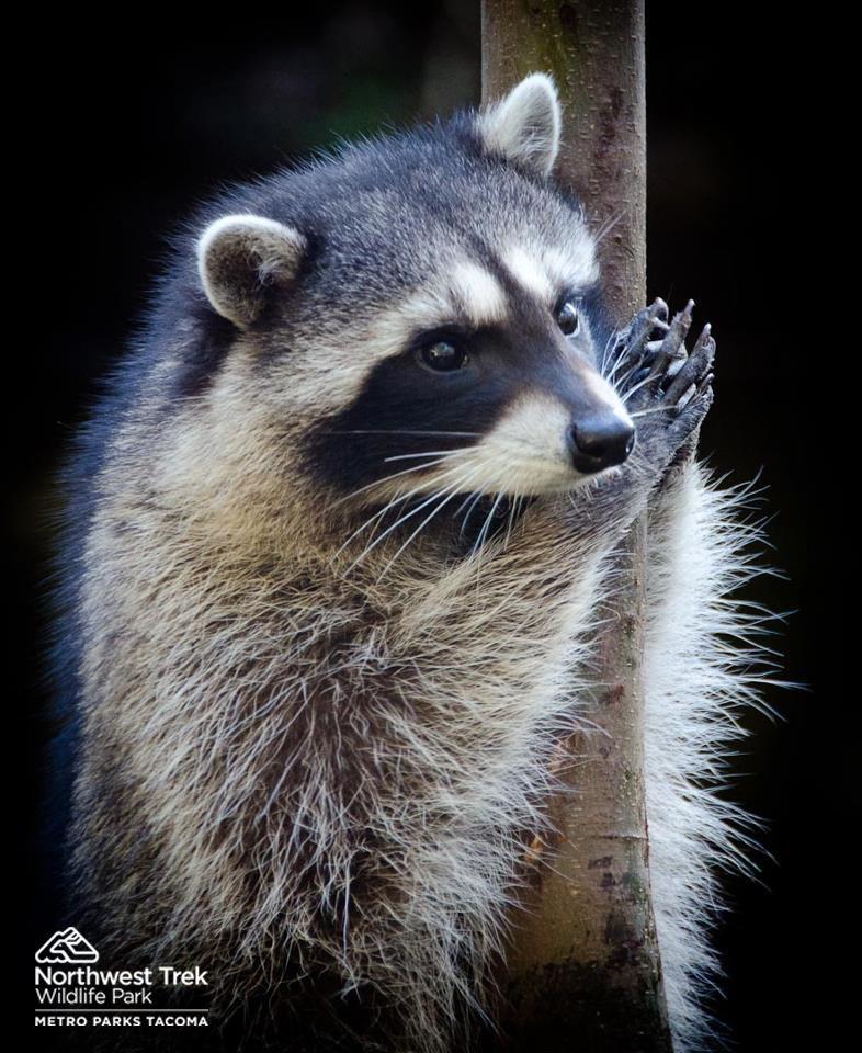 #Raccoon hanging on