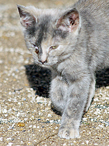 Medicating Feral Cats And Kittens Feral Cats Cats And Kittens Cat Diseases