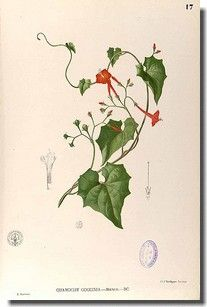 Reconnaître Les Plantes Grimpantes à Fleurs De Couleur Rouge
