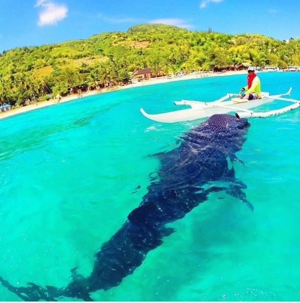 Whale shark   Philippines vacation, Philippines travel