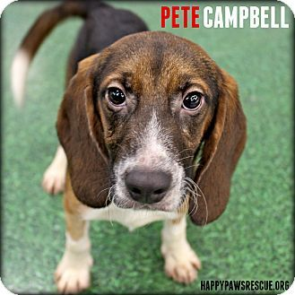 South Plainfield Nj Beagle Meet Pete Campbell A Puppy For