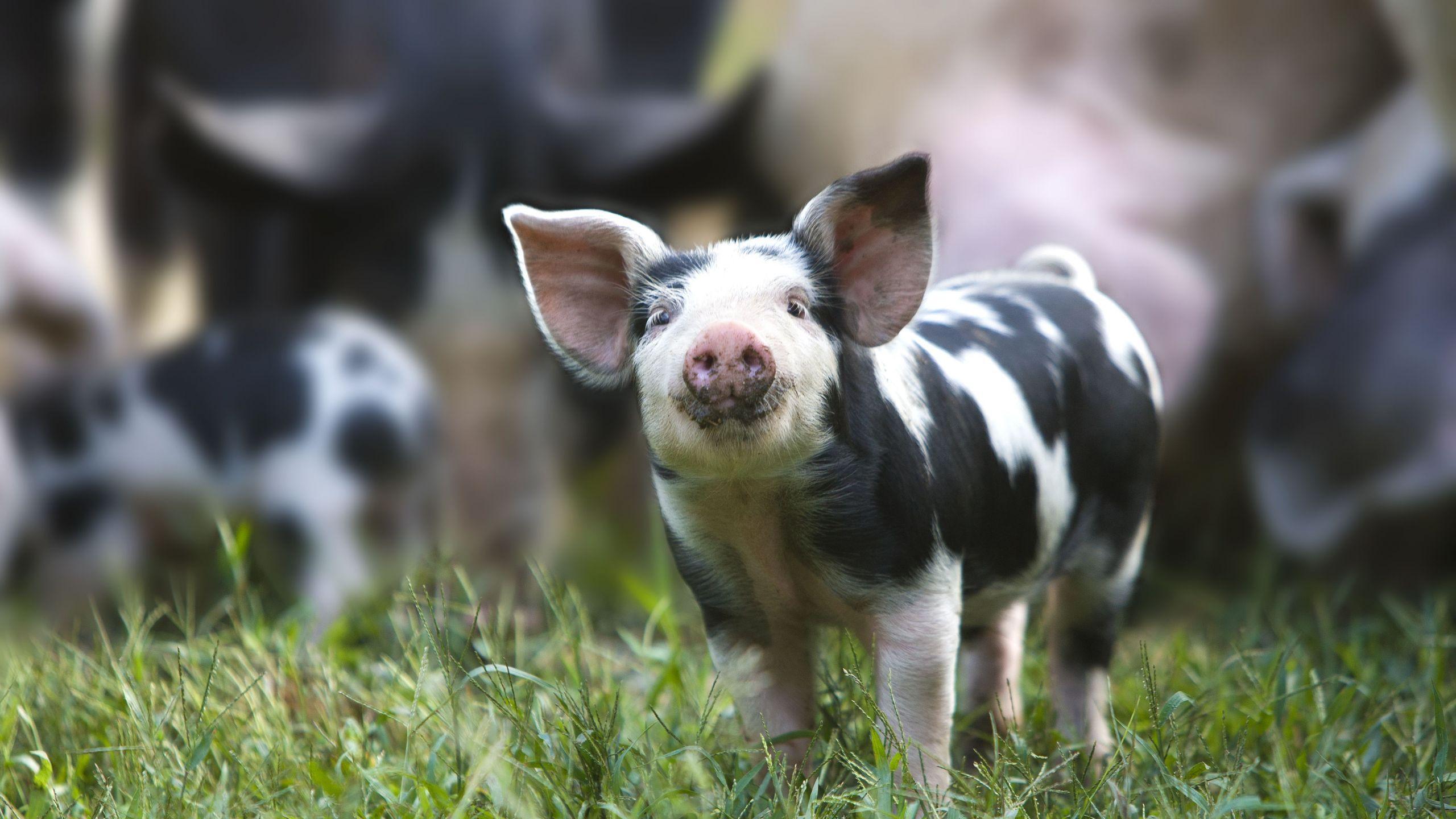 5 Farm Animals Preschool Projects Organic Pig Farm