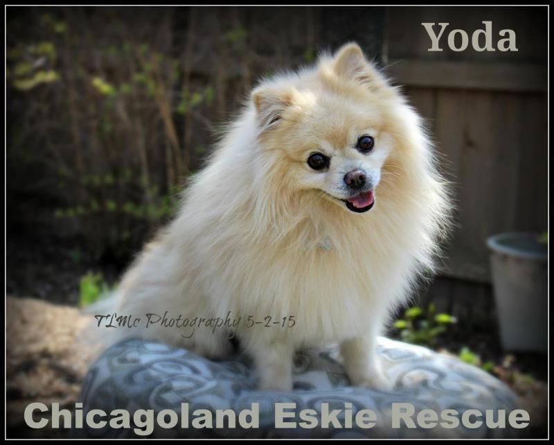 Adopt Yoda On Spitz Breeds Dogs Pomeranian