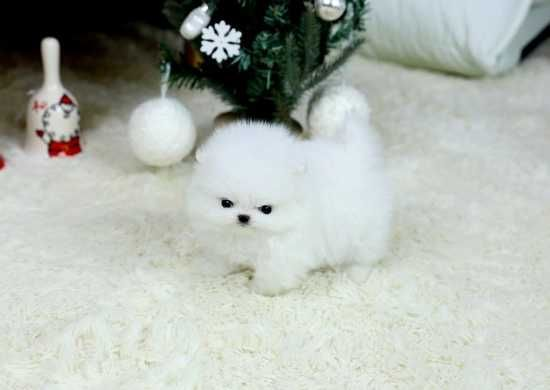 Two White Pomeranian Puppies For Adoption Pomeranian
