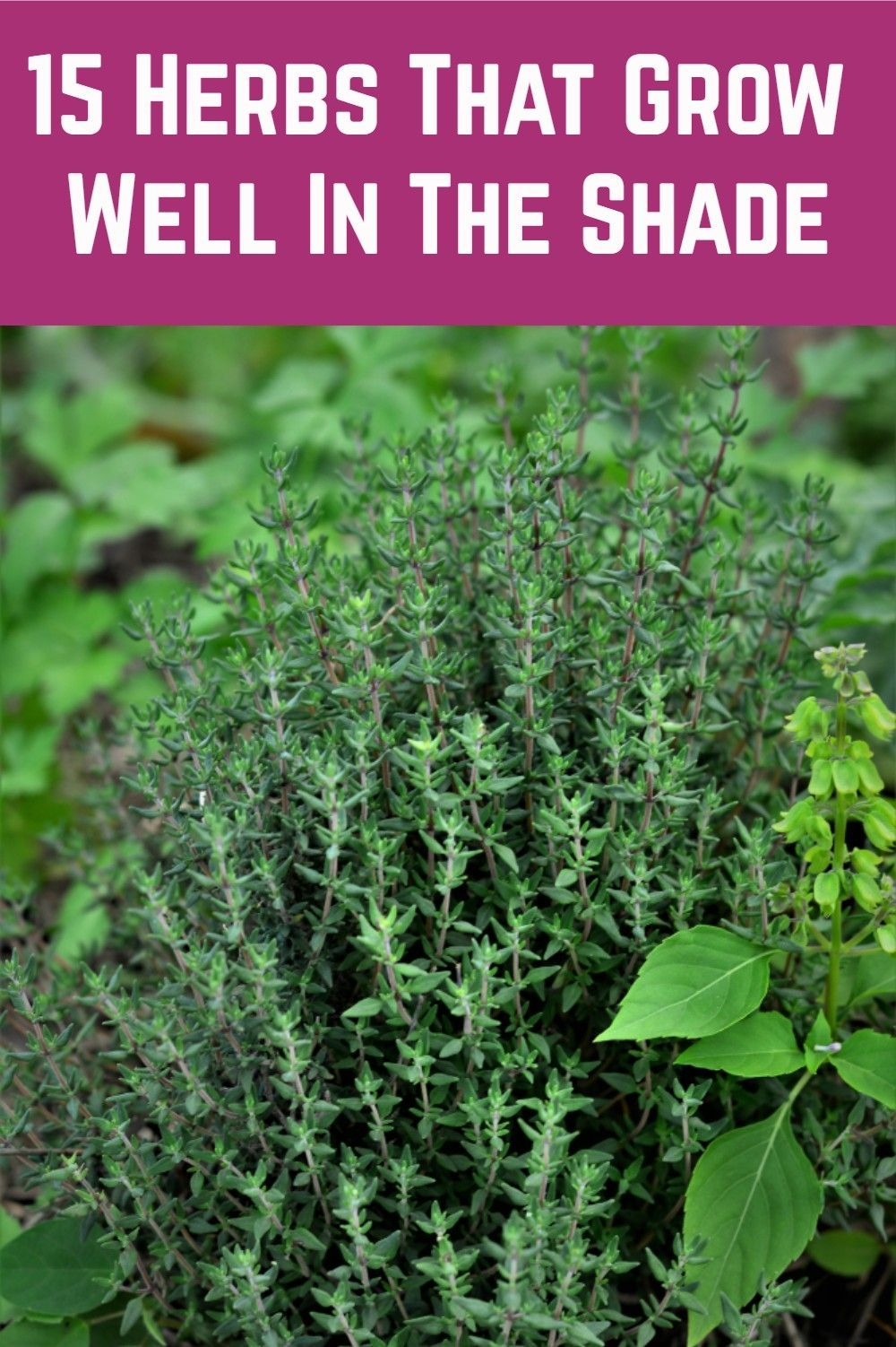 15 Herbs That Grow Well In The Shade is part of Herb garden design, Herbs, Veg garden, Garden yard ideas, Shade tolerant plants, Shade garden - Got a shady spot in your garden  These herbs thrive in shady spots so none of your garden has to go to waste